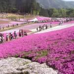 fot. 10shibazakura Chichibu