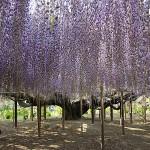 fot. 11wisteria, Ashikagashi