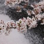 fot. 1Meguro sakura