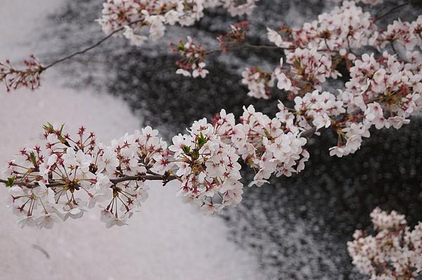 Kilka słów o Japońskich świętach wiosennych