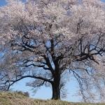 fot. 2wanizuka no sakura
