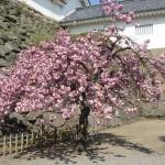 fot. 7Momo, Aizu-Wakamatsu